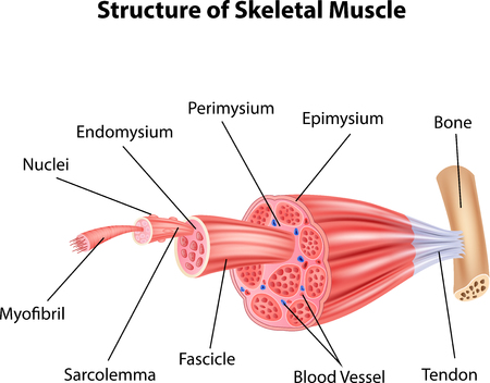 skeletal muscle: Vector illustration of Structure Skeletal Muscle Anatomy