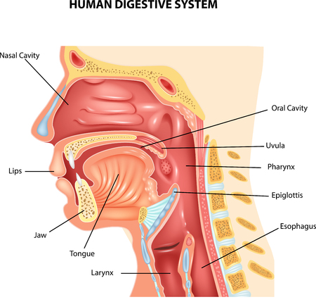 esophagus: Vector illustration of Human Digestive System
