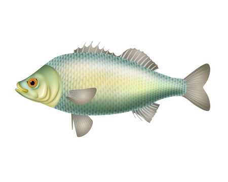 crucian: illustration of fish isolated on white background Illustration
