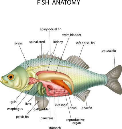 illustration of Anatomy of fish