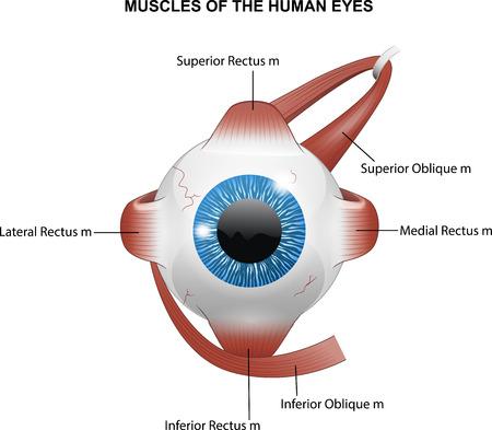 Illustratie van spieren van de menselijke ogen Stock Illustratie
