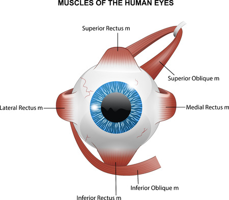 ocular: illustration of Muscles of the human eyes Illustration