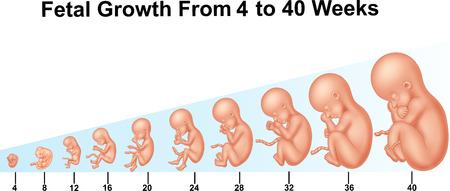 Illustratie van foetale groei van 4 tot 40 weken Stock Illustratie