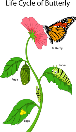 Illustration of a monarch butterfly life cycle