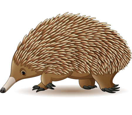 Vector illustration of Echidna isolated on white background