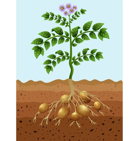 Vector illustration of Potatoes planting in the ground