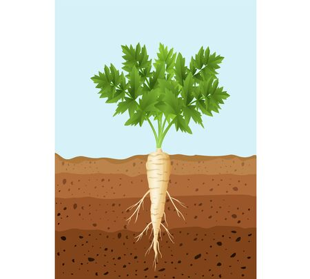 Vector illustration of Parsnip tree plant with roots