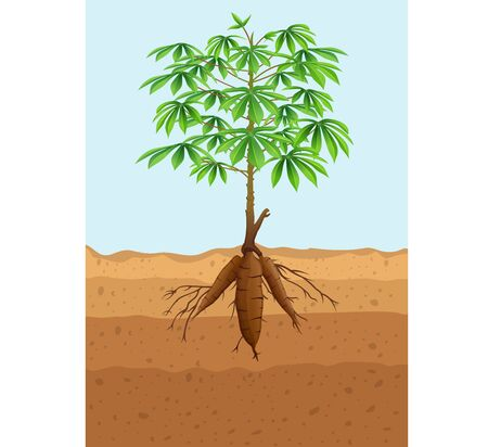Vector illustration of Cassava tree plant with roots