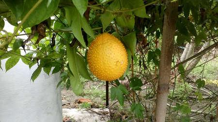 print: Fruit Thailand