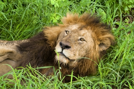African lion resting in the grass, Serengeti, Tanzania photo