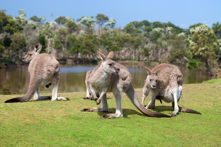 Group of kangaroos in Phillip Island Wildlife Park, Australia photo