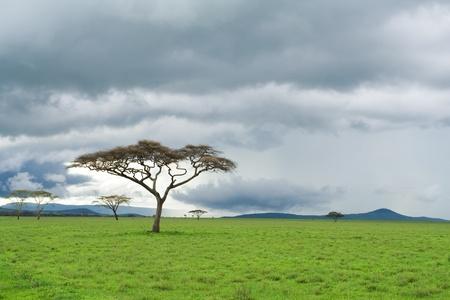 Afrikanischen Landschaft. Acacia Baum in Savannah.
