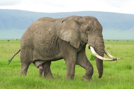 pene: Elefante solitario en busca de una mujer para el acoplamiento, el cr�ter del Ngorongoro, Tanzania