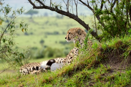maasai: Cheetah (Acinonyx jubatus). Large-sized feline inhabiting most of Africa and parts of the Middle East. Photo was taken in Masai Mara National Park, Kenya.
