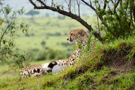 jubatus: Cheetah (Acinonyx jubatus). Large-sized feline inhabiting most of Africa and parts of the Middle East. Photo was taken in Masai Mara National Park, Kenya.