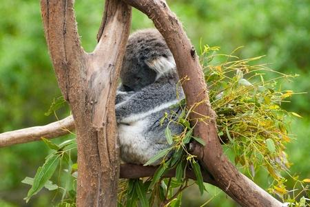 extant: Koala durmiendo en un �rbol. El koala (Phascolarctos cinereus) es un marsupial herb�voro arb�rea nativa de Australia, y el �nico representante existente de la Phascolarctidae familia.