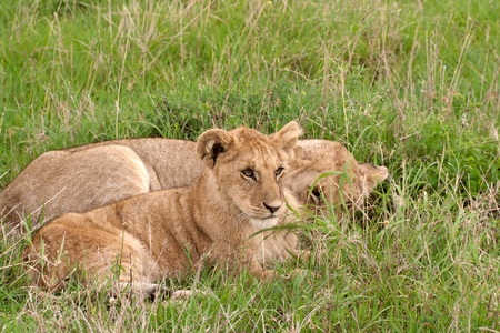Two lion cubs lying on the grass in african savannah, Masai Mara National Reserve, Kenya photo