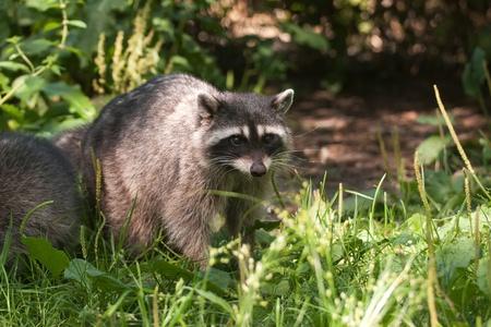 procyon: Racoon in Stanley Park, Vancouver, Canada