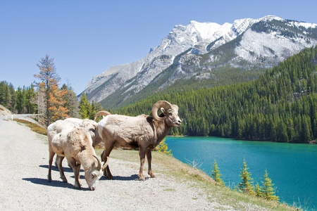 alberta: Mountain Bighorn Sheep on Lake Minnewanka, Alberta, Canada