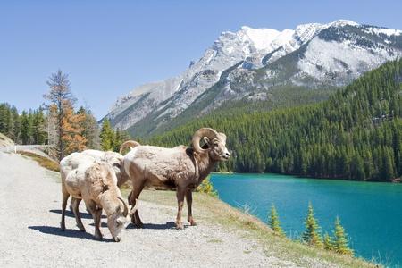 bighorn sheep: Mountain Bighorn Sheep sul Lago Minnewanka, Alberta, Canada