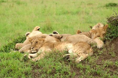 Three lion cubs lying on the grass in african savannah, Masai Mara National Reserve, Kenya photo
