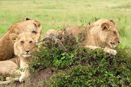 Lion cubs lying on the grass in african savannah, Masai Mara National Reserve, Kenya photo