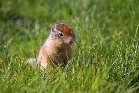 columbian: Columbian Ground Squirrel  Stock Photo