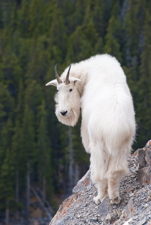 Canadian Rocky Mountain Goat photo