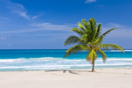 Coconut Palm Tree on the Tropical Beach, Bavaro, Punta Cana, Dominican Republic photo