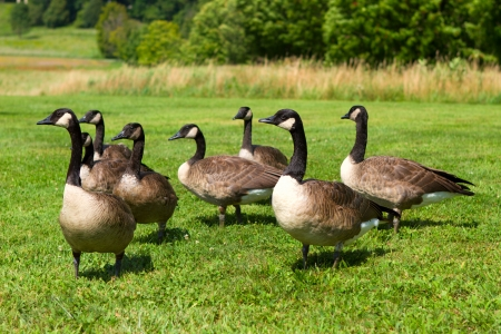 canada goose: Group of Canada Geese