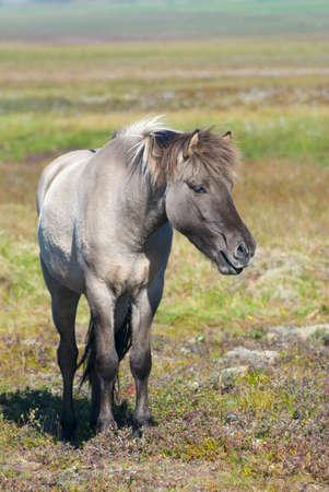 scandinavian landscape: Icelandic Horses
