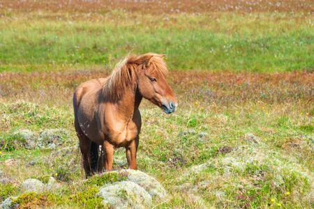 scandinavian landscape: Icelandic Horse