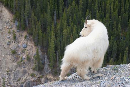 macho cabrio: Cabra monta�osa