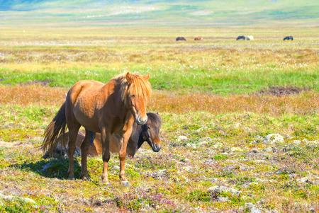 pene: Due cavalli islandesi Archivio Fotografico