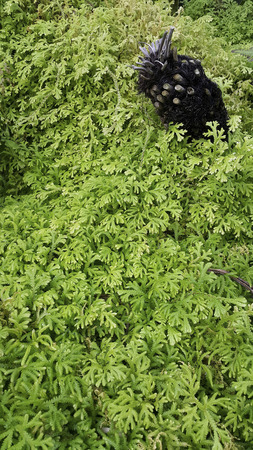 dankness: the tree stump pierce through the ground cover plants Stock Photo
