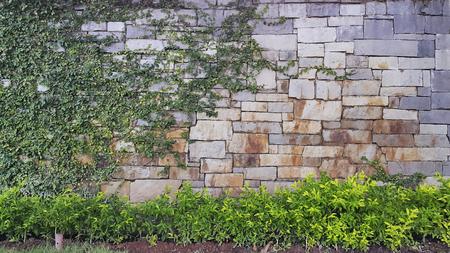 creep: The climber plants creep on the stone wall Stock Photo