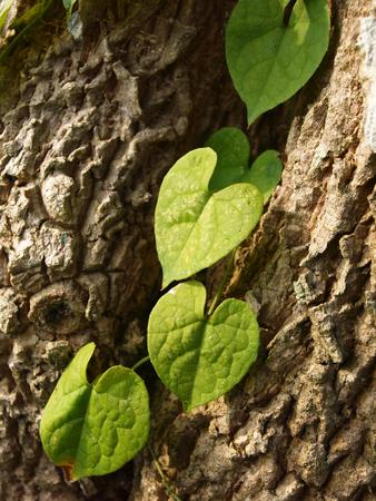 tropical evergreen forest: Ivy shaped like a heart climb on tree trunks. Stock Photo