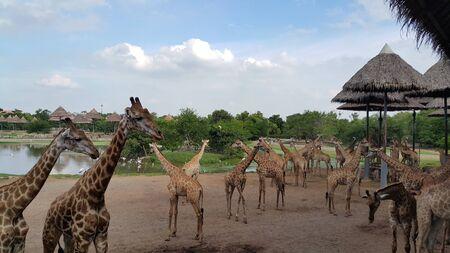 Herd of giraffes in the zoo Stock Photo
