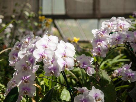 orchid house: A bouquet of white orchids in a glass house cultivation.