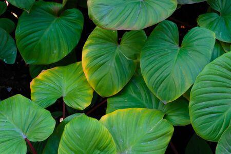 De achtergrondafbeelding van de bladeren in de vorm van een hart is groen en verfrissend. Stockfoto