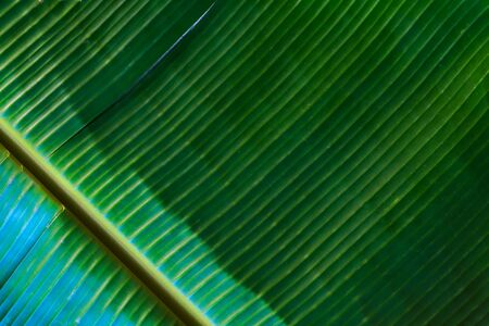 Fresh green banana leaf texture background.