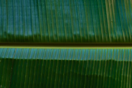 Fresh green banana leaf texture background.