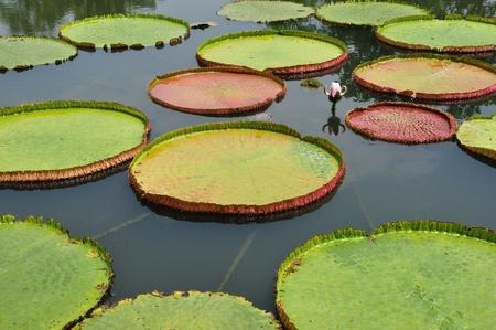 Royal Water Lily