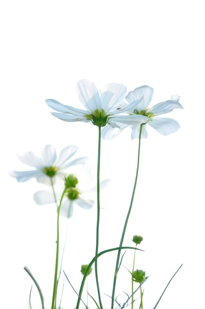 White color daisies in grass field with white background