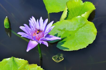 Purple water lily with bee photo