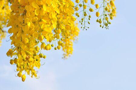 golden shower: Golden Shower tree
