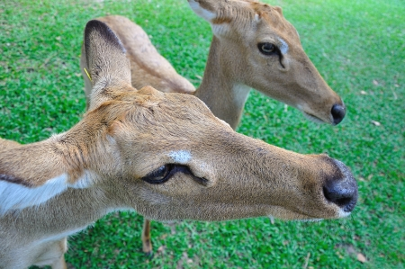 Deer (brow-antlered) photo