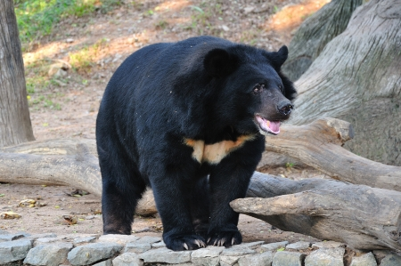 ursus: Asiatic black bear