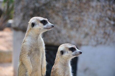 sentry: Suricate or meerkat standing in alert position Stock Photo