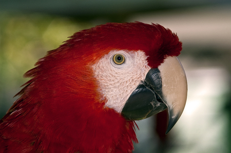 squawk: Red Parrot in Profile